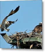 Osprey Landing In Nest Metal Print