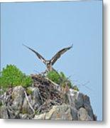 Osprey Landing On A Nest Metal Print