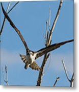 Osprey Launches Head On Metal Print