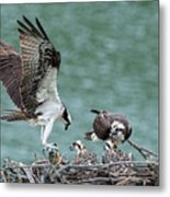 Osprey Male Bring Home The Dinner Metal Print