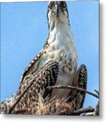 Osprey Nesting Metal Print