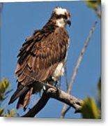 Osprey On Perch Metal Print
