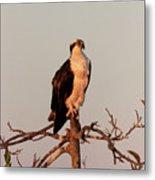 Osprey On The Caloosahatchee River In Florida Metal Print