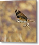 Osprey On The Wing With Fish Metal Print