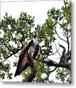 Osprey Perch  Metal Print