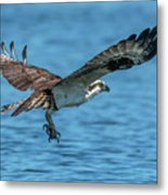 Osprey Ready For Fish Metal Print