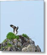 Osprey Sitting On A Ledge In Casco Bay  Metal Print