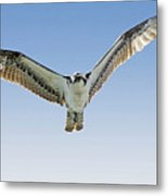 Osprey Soar Search Metal Print