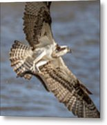 Osprey Take-out Metal Print