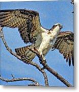 Osprey Wing Stretch Metal Print