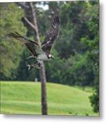 Osprey With Catch Metal Print