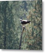 Osprey With Fish 2 Metal Print