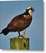 Osprey With His Catch Metal Print