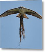 Osprey With Nesting Material 031620161500 Metal Print