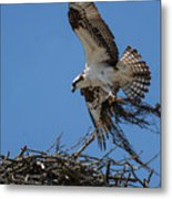 Osprey With Nesting Material 031620161567 Metal Print