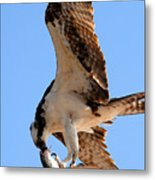 Osprey's Catch Metal Print