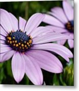 Osteospermum 'margarita Lilac' Metal Print