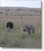 Ostrich Love Metal Print