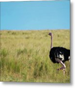 Ostrich On The Run Metal Print