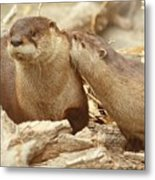Otter Affection ... Montana Art Photo  Metal Print
