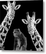 Our Wise Little Friend - Monkey And Giraffes In Black And White Metal Print