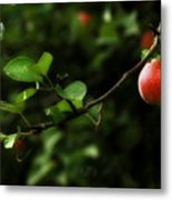 Out On A Limb  A Tempting Photograph Of A Tasty Ripe Red Apple On A Tree  Metal Print