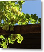 Overhead Grape Harvest - Summertime Dreaming Of Fine Wines Metal Print
