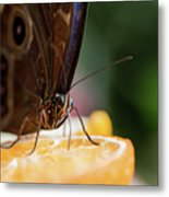 Owl Butterfly Feeding On An Orange Metal Print