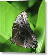 Owl Butterfly On A Cluster Of Green Leaves Metal Print