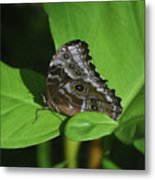 Owl Butterfly With Fantastic Distinctive Eyespots  Metal Print
