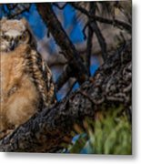 Owlet In A Fir Tree Metal Print
