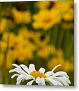 Ox Eyed Daisy 2 Metal Print
