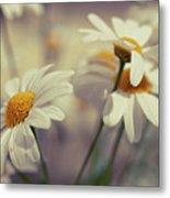 Oxeye Daisy Flowers Metal Print