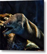 Pacific Moray Eel Metal Print