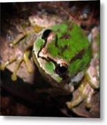 Pacific Tree Frog Metal Print by Nick Gustafson