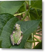 Pacific Tree Frog Metal Print by Shannon Gresham