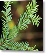 Pacific Yew Metal Print