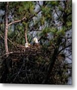 Pair Of Bald Eagles In Nest Metal Print