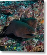 Pair Of Giant Moray Eels In Hole Metal Print