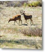 Pair Of Mule Deer Grazing At Chatfield Metal Print
