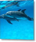 Pair Of Spotted Dolphins Metal Print