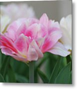 Pale Pink And White Parrot Tulips In A Garden Metal Print