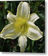 Pale Yellow Flowering Lily Blossom In A Garden Metal Print
