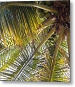 Palm Collection - Coconuts Are Fine Metal Print
