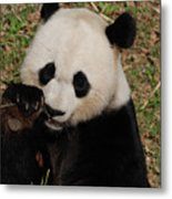 Panda Bear Eating Some Shoots Of Bamboo Metal Print