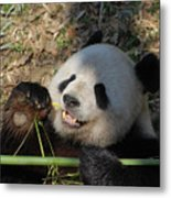 Panda Bear Laying On His Back And Eating Bamboo Metal Print