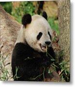 Panda Bear With Teeth Showing While He Was Eating Bamboo Metal Print
