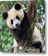 Panda Cub Resting On Tree Metal Print