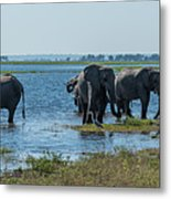 Panorama Of Elephant Herd Drinking From River Metal Print