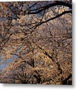 Panorama Of Forest Of Sakura Japanese Flowering Cherry Trees Wit Metal Print